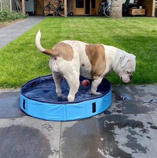 Zwembad bulldog