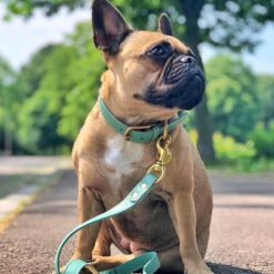 Frenchie with DIY collar green