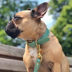 Frenchie with DIY collar green2